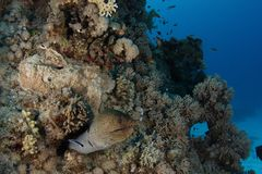 Moray eel - St John's reef Egypt. A giant javanese moray eel  (Gymnothorax javanicus) comes out of its hiding at St John reef, Egypt Stock Photo