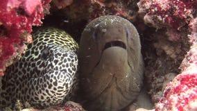 Moray Eel svart och prickigt på bakgrundskorall som är undervattens- i havet av Maldiverna arkivfilmer