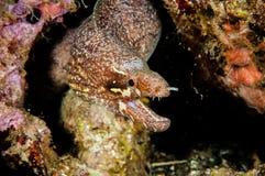 Moray eel swimming in Banda, Indonesia underwater photo Stock Images