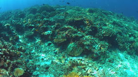 Moray eel swims over a coral reef. Moray eel swims over a colorful coral reef with many small fish. 4k footage stock video