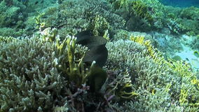 Moray eel swims over a coral reef. With plenty fish stock video