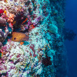 Moray Eel in Tropical Coral Reef, Maldives Stock Image