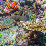 Moray Eel in Tropical Coral Reef, Maldives Royalty Free Stock Images