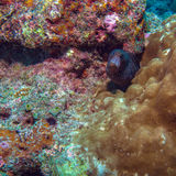 Moray Eel in Tropical Coral Reef, Maldives Royalty Free Stock Photography