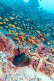 Moray Eel in Tropical Coral Reef, Maldives Stock Images