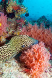 Moray Eel in Tropical Coral Reef, Maldives. The Honeycomb moray Gymnothorax favagineus seating in reef hole, Maldives Royalty Free Stock Images