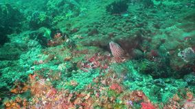 Moray eel on the coral reef. Moray eel tropical fish on a coral reef. Underwater world with corals and tropical fish. Diving and snorkeling in the tropical sea stock video footage
