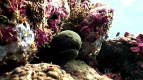 Moray eel underwater on coral reef seabed in Maldives. Unique amazing macro video closeup footage. Abyssal relax diving. Natural aquarium of sea and ocean stock video footage