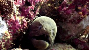 Moray eel underwater on coral reef seabed in Maldives. Unique amazing macro video closeup footage. Abyssal relax diving. Natural aquarium of sea and ocean stock footage