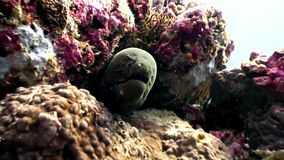 Moray eel underwater on coral reef seabed in Maldives. Unique amazing macro video closeup footage. Abyssal relax diving. Natural aquarium of sea and ocean stock video