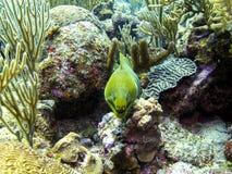 Moray Eel verde in barriera corallina di Belize immagine stock libera da diritti