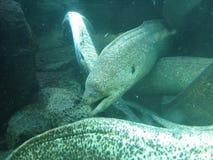 Moray Eels Stockfoto