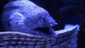 Moray eels in aquarium stock footage