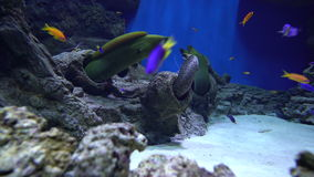 Moray eels and shrimp cleaners stock footage