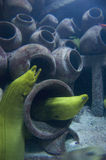 Moray Eels in Sunken Ship. A pair of moray eels search for food among a pile of clay pots in the cargo hold of a sunken ship royalty free stock images