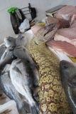 Moray, enguia de moray, Murane Imagens de Stock Royalty Free
