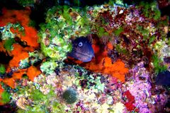 Moray fish. Is hide away stock images