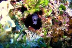 Moray fish. Moray is ready to attack Stock Photo