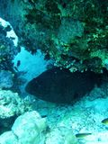 Moray fish in Red sea, Egypt Royalty Free Stock Image