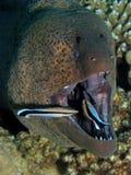 Moray gigante - javanicus de Gymnothorax que está sendo limpado Imagem de Stock