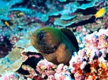 Moray gigante (javanicus di Gymnothorax) Fotografie Stock Libere da Diritti