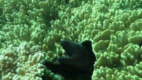 Moray gigante que oculta entre el arrecife de coral en el suelo marino, Bali almacen de metraje de vídeo