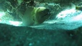Moray gigante que oculta entre el arrecife de coral en el suelo marino, Bali metrajes
