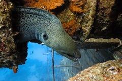 Moray gigante sul naufragio fotografia stock