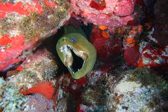 Moray in the hole Royalty Free Stock Photo