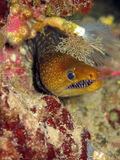 Moray in the home, Mediterranean Sea, Blue cave, Kekova İsland Royalty Free Stock Images