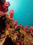 Moray im Riff Lizenzfreie Stockbilder