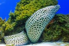 Moray leopardo/merlettata in Oceano Indiano durante il tuffo dello scuba fotografie stock