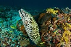 Moray in Maldiven Stockfotografie