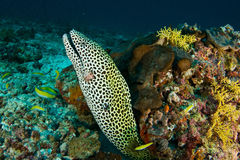 Moray in Maldiven Stock Photography