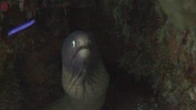 Moray nero spaventoso subacqueo in oceano di fauna selvatica Filippine video d archivio