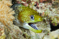 Moray ondulé Photos stock