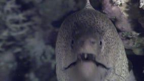 Moray peligroso subacuático en busca de la comida en el Mar Rojo almacen de metraje de vídeo
