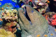moray Pesci del Mar Rosso Fotografia Stock Libera da Diritti