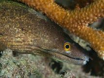 Moray pourpre de bouche à côté de corail dur Photographie stock