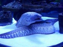 Moray in un acquario Immagine Stock