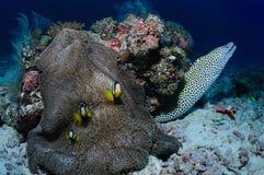 Moray und Froschfische lizenzfreie stockfotos