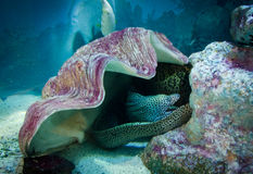 Moray under shell, underwater life Royalty Free Stock Image