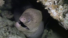 Moray underwater in coral in Red sea. stock footage