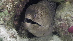Moray underwater in coral in Red sea. stock video