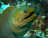Moray verde Fotografie Stock