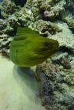 Moray verde fotografia stock