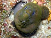 Moray verde gigante Fiji Fotografia Stock Libera da Diritti