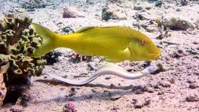 Moray y pescados amarillos Imagenes de archivo