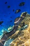 Morayaal ist auf Korallenriff Stockfoto