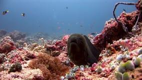 Moraypaling en anemoonactinia met clownvissen onderwater op zeebedding stock videobeelden